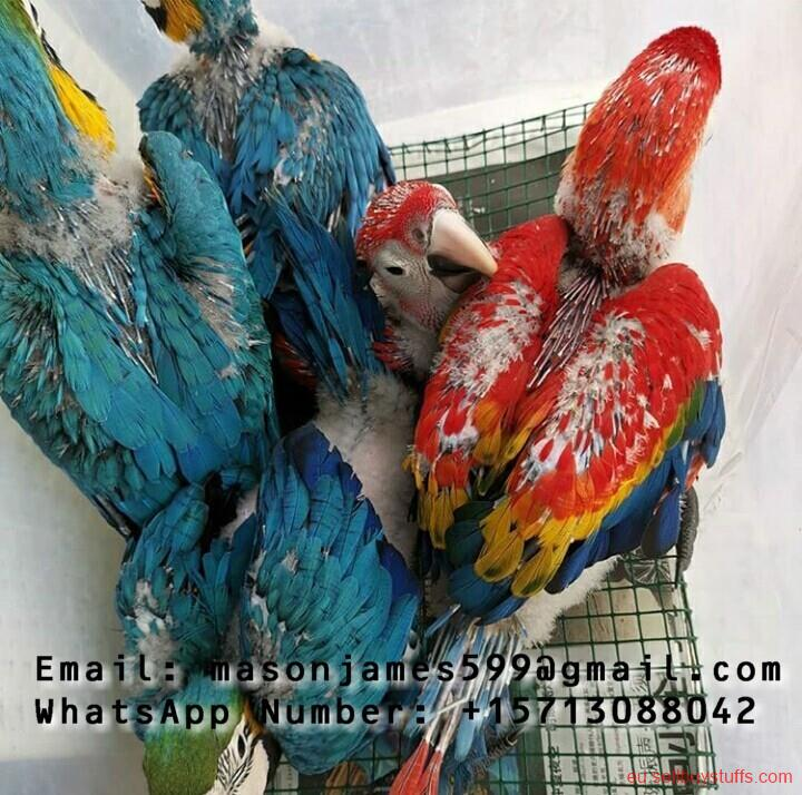 second hand/new: Buy Young And Friendly Cockatoo, Macaw, Hyacinth and Others